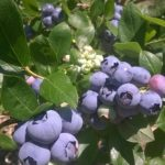 Indian Orchards Farm pick your own Blueberries