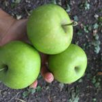 Indian Orchards Pick your own Apples