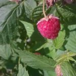 Indian Orchards one Raspberry