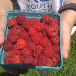 Indian Orhcards Pick your own raspberries